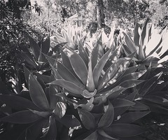 Succulents in shade and sun From the brightest sun to darkest shade in Arlington Garden, Pasadena, CA #blackandwhite #blackandwhitephotography #bnw_drama #bnw_legit #bnw_captures #gf_bnw #bnwmaster #ig_garden #flowersofinstagram #flowerstagram #treestagra (dewelch) Tags: ifttt instagram succulents shade sun from brightest darkest arlington garden pasadena ca blackandwhite blackandwhitephotography bnwdrama bnwlegit bnwcaptures gfbnw bnwmaster iggarden flowersofinstagram flowerstagram treestagram rainbowpetals plantstagram ignaturelovers ignaturepictures ignaturesbest 24earth