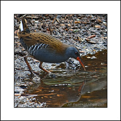 Water Rail (Rallus aquaticus) (prendergasttony) Tags: avian bird birds nikon d7200 rail water freshwater reflection nature wild wildlife pennington lancashire elements feathers beak rspb outdoors digital countryside blue red brown rallus aquaticus mud