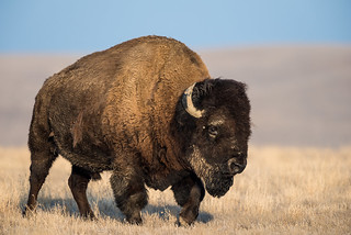 1603_0045 Plains Bison