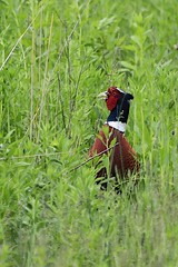 Ring-necked Pheasant (Kimages2c) Tags: bird field pheasant ringneckedpheasant