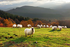 sheep at sunset (Mikel Martnez de Osaba) Tags: light sunset shadow sun sunlight white green field grass sunshine animal landscape shine sheep farm farming flock group meadow farmland domestic pasture shade livestock herd grazing