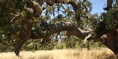 Oak Tree Crane Creek Regional Park (Dunby PICS) Tags: park tree creek oak wine crane winery trail vineyards grapes petaluma sanrafael regional cotati fiddleneck rohnertpark discgolfcom wdunby parkssonomacountycagov