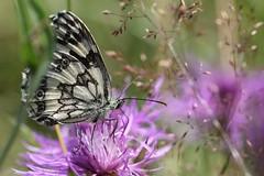 July (sramses177) Tags: macro butterfly wiese blumen papillon makro blte schmetterling sommerwiese melanargiagalathea marbledwhite schachbrettfalter