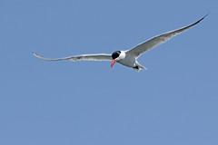 Caspian Tern_005 (Walt Barnes) Tags: lake bird nature water canon eos bay pond scenery wildlife flight lagoon richmond calif bif birdinflight caspiantern 60d canoneos60d eos60d ebparksok wdbones99