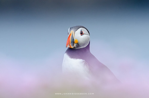 Portrait of Atlantic Puffin