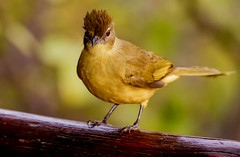 Yellow-bellied Greenbul - The Kruger National Park (Wild in Africa.) Tags: africa birds southafrica wildlife krugernationalpark kruger