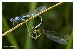 Damselflies Mating (sheppy1970) Tags: nature insects flies damsel