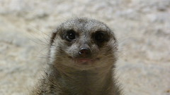 """Happy Meerkat • <a style=""""font-size:0.8em;"""" href=""""http://www.flickr.com/photos/77994446@N03/9642888910/"""" target=""""_blank"""">View on Flickr</a>"""