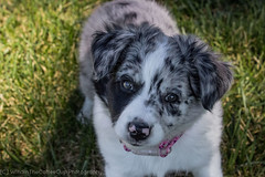 Cuteness Overload (Taylor Knight Photography) Tags: dog puppy aussie