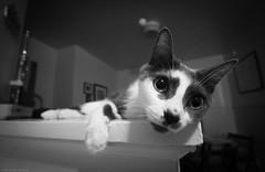 IMG_9108-1 (michellehurley) Tags: blackandwhite bw pet cats minnesota animal cat canon wideangle tracy saintpaul