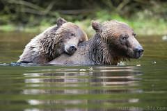 Grizzly bear (Matt Allen Photography) Tags: canada river nikon tide rip cubs brownbear grizzlybear 200400mm mattallen nikond300s wwwmattallenwildlifecom mattallenphotography