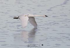 swan-2759