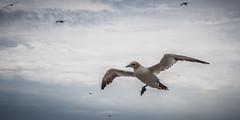 L'approche du Fou (Explore) (RVBO) Tags: qubec bonaventure gannet foudebassan