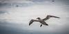 L'approche du Fou (Explore) (RVBO) Tags: québec bonaventure gannet foudebassan