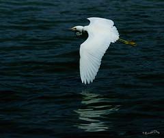 ~Snowy Egret Flying~ (Ronald Day) Tags: colorado lakewood belmar snowyegret ardeidae egrettathula birdphoto flyingegret