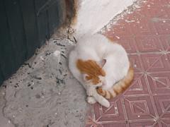 cat (the incredible how (intermitten.t)) Tags: españa cat menorca baleares minorca balearicislands illesbalears 17552 20131003