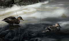 Sorsat_8190 (Esko Lius) Tags: summer bird river cycling duck vantaanjoki cropped mallard lintu keskuspuisto vantaankoski kes㤠pyã¶rã¤ily heinã¤sorsa