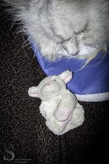 Sefi and Bahbahra (Singing With Light) Tags: morning november cat photography sheep pentax ct milford fridgemagnet k5 softtoy k3 2013 bahbahra sefidi singingwithlight singingwithlightphotography