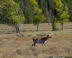 Teton Pronghorn (kevin-palmer) Tags: autumn trees brown male green fall field grass walking nationalpark walk wildlife september telephoto antelope wyoming grandteton pronghorn pentaxk5 pentaxdal55300mmf458
