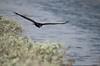 Turkey Vulture - 1991 (www.karltonhuberphotography.com) Tags: bird nature inflight handheld buzzard southerncalifornia gliding huntingtonbeach scavenger turkeyvulture cathartesaura bolsachicawetlands 2013 sigma150500mmos nikond7000 karltonhuber