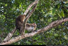 IMG_2684 (Dmitriy Shardakov) Tags: nepal animals pokhara wildanimals животные обезьяны westernregion фауна дикиеживотные покхара