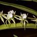 Angraecum eburneum var. brevicalcar – Merle Robboy