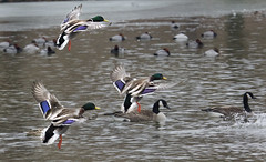 The Drakes come in for a landing (MiriamPoling) Tags: duck landing mallard drake
