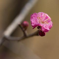 Prunus mume - Pink (Apricot Cafe) Tags: japan narita chibaprefecture chiba千葉 narita成田 prunusmume梅 canonef100mmf28lmacroisusm japaneseapricot梅 naritasanpark成田山公園 img60419