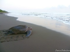 Dermochelys coriacea (.:PaTrI:.) Tags: beach costarica playa seaturtle caribe reptil caribean laud baula leatherback pacuare tortugamarina desove dermochelyscoriacea