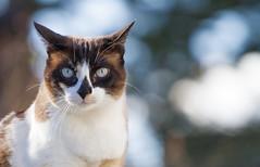 Lisa (No_Water) Tags: cat snowshoe lisa