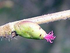 Tree anemone (billnbenj) Tags: hazel cumbria barrow treeanemone
