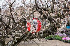 Aodani Bairin (青谷梅林) Matsuri 2014 in Joyo City! (KyotoDreamTrips) Tags: japan kyoto ume plumblossomfestival 青谷梅林 aodanibairin joyocity