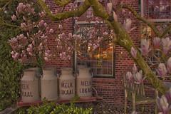 Dairy Museum - Noordwijkerhout - Netherlands (Haakon von Martinsky) Tags: old holland tree history netherlands museum vintage farmers nederland magnolia dairy hdr muzeum melk kwiaty milch zuidholland noordwijkerhout magnolie kanki drzewo holandia molkerei mleko dairymuseum mleczarnia rolnictwo beverboom melklokaal