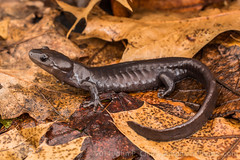 Jefferson's Salamander (Ambystoma jeffersonianum) (John P Clare) Tags: ohio leaves woodland spring pond egg salamander breeding april mating migration vernal tadpole larva 2014 cuyahogacounty jeffersonsalamander ambystomajeffersonianum jeffersonssalamander