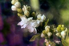 FEERIQUE PRINTEMPS ! (Gilles Poyet photographies) Tags: fleurs lila printemps clermontferrand autofocus aplusphoto artofimages rememberthatmomentlevel4 rememberthatmomentlevel1 rememberthatmomentlevel2 rememberthatmomentlevel5 parcducreuxdelenfer