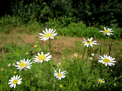 Stinking Chamomile - Anthemis cotula  -   Asteraceae: Aster or Daisy family (DaveCzGrLk) Tags: white june october may july august september asteraceae roadsideflower mayweed 2013 greenlakecounty dogfennel anthemiscotula stinkingchamomile asteraceaefamily introducednaturalized asterordaisyfamily