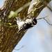 Downy woodpecker | Picoides pubescens