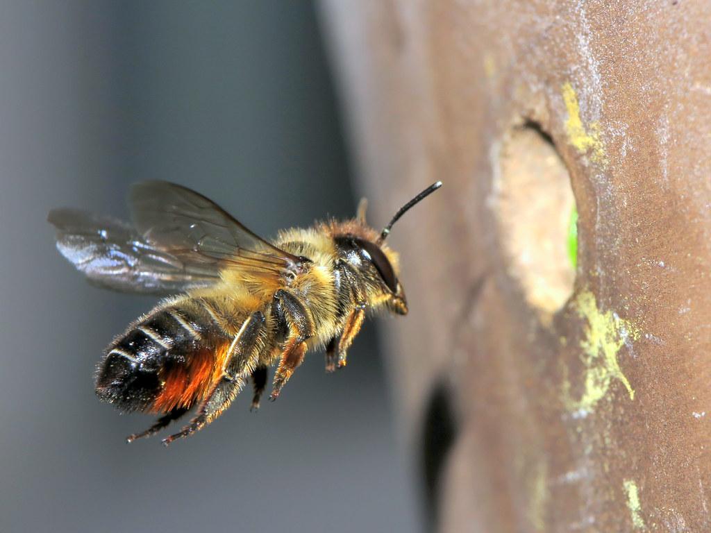Rosen Blattschneiderbiene Rolf Dietrich Brecher Tags Megachilecentuncularis Rosenblattschneiderbiene Nahaufnahme Bienefliegend