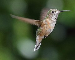 Rufous Hummingbird (Keith Carlson) Tags: hummingbirds rufoushummingbird selasphorusrufus