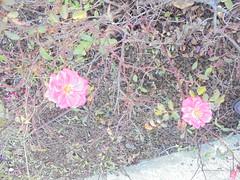 151 (en-ri) Tags: roselline aiuola aiola sony sonysti little roses