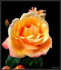 Rose (Martin Volpert) Tags: mavo43 blüte blumen flor cvijet kvet blomster flower floro õis lore kukka fleur bláth virág blóm fiore flos žiedas zieds bloem blome kwiat floare ciuri flouer cvet blomma çiçek pflanze rose