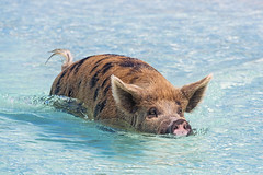 Swimming sow! (Tambako the Jaguar) Tags: sow female swimming portrait pig exuma cay cute sea beach bahamas island vacation nikon d5