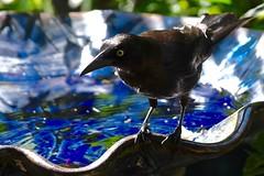 Grackle (bmasdeu) Tags: birdbath water drink bird grackle black iridescent blue