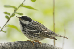 Blackpoll Warbler Watson Lake (girltwin) Tags: colorado fortcollins ornithology warbler blackpollwarbler