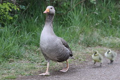 Greylag Goose and Chicks 001 (cwoodend..........Thanks) Tags: goose chicks greylaggoose brandonmarsh