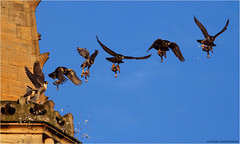Up Up With The Prey..... (jammo_s) Tags: sky bird composite photo wings cathedral pigeon beak raptor norwich prey birdofprey bif peregrine multiexposure birdinflight norwichcathedral peregrinefalcon tiercel canonef400mmf56lusm jammo canoneos60d norwichperegrine norwichcathedralperegrine birdflightsequence