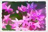 Pentas (Digital Lady Syd) Tags: flowers flower pentas paintedflowers pinkpentas