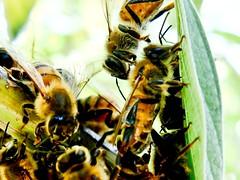 Enjambre (Carlos A. Aviles) Tags: abejas insect bees bee abeja hive insecto apis mellifera