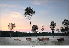 Schotse hooglanders (5D300087) (nandOOnline) Tags: zonsondergang bomen nederland boom gras lucht rund dier heide schemering rips schotse hooglander avondrood runderen nbrabant stippelberg