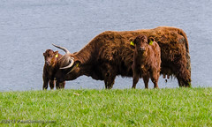 Highland Cattle in Saint Austell - Cornwall, England, UK (Paul Diming) Tags: uk greatbritain england spring cornwall cattle unitedkingdom wildlife highlandcattle cornwallengland d7000 saintaustell pauldiming saintaustellengland